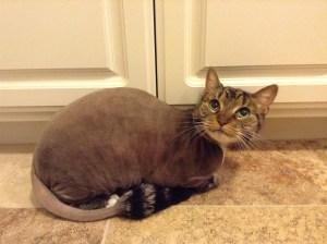Cat Grooming by Deborah Hansen