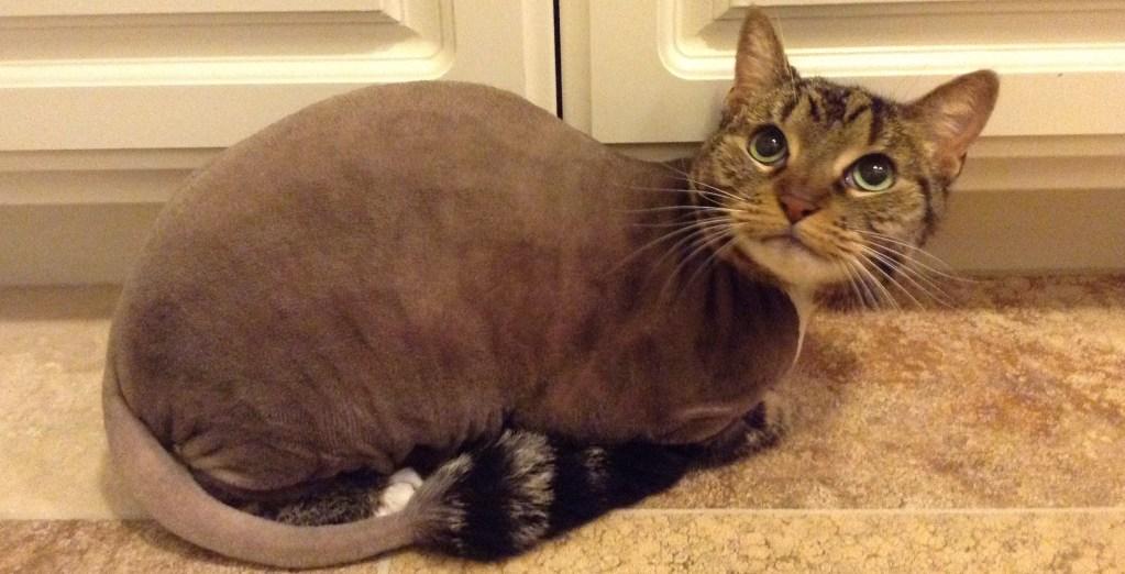 In Home Cat Groomig